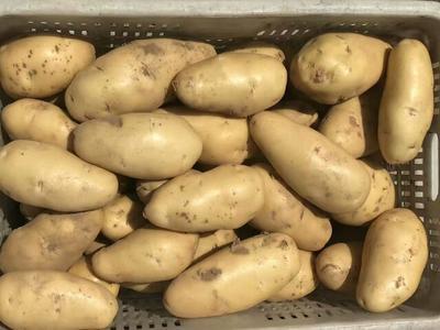 这是一张关于荷兰15号土豆 3两以上 山东土豆批发 荷兰十五土豆价格的产品图片