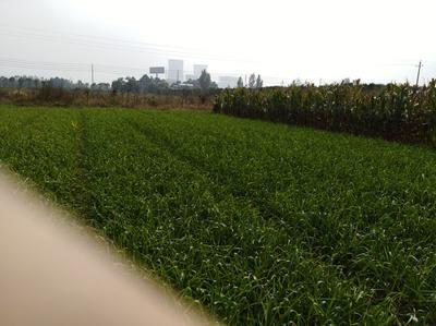 陕西渭南红根蒜苗 45 - 50cm