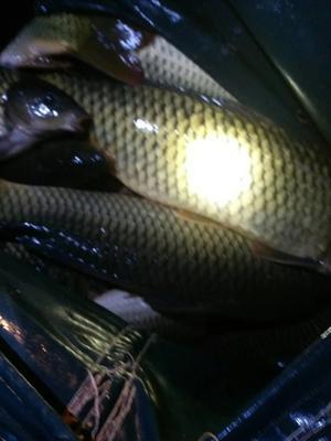 湖南常德池鲤鱼 1.5-6公斤 人工养殖
