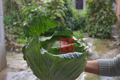陕西省渭南市蒲城县京丰一号甘蓝 4~5斤