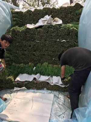 河南安阳大叶韭菜 35~40cm 二茬