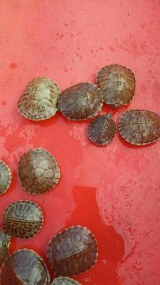 广西贵港巴西龟 5-10cm 0.5斤以下