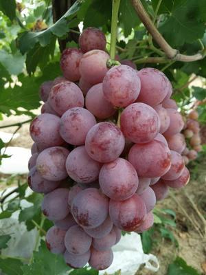 河北衡水红地球葡萄 2斤以上 5%以下 1次果