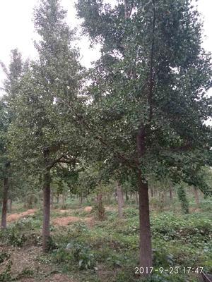 山东济宁银杏实生树