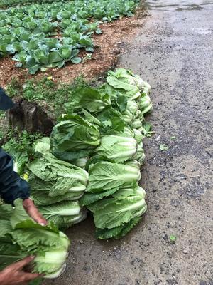 重庆巫溪县山地王2号 3~6斤 净菜