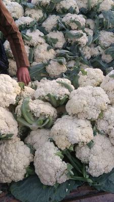 这是一张关于白面青梗松花菜 松散 2~3斤 米黄的产品图片