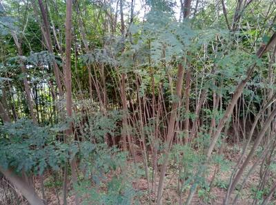 湖北十堰合欢树