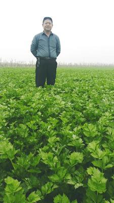 河南省开封市通许县美国文图拉芹菜 50~55cm 露天种植 0.5~1.0斤