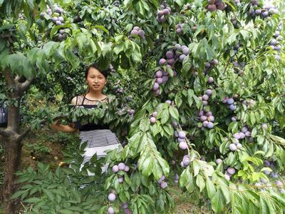 这是一张关于脆红李苗 李子苗的产品图片