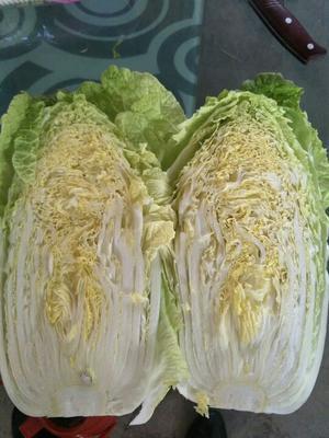 甘肃省定西市临洮县韩国黄心白菜 3~6斤 净菜