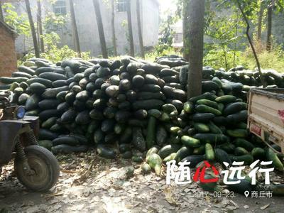 河南省商丘市永城市子弹头黑皮冬瓜 15斤以上 黑皮