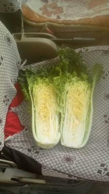 河北省保定市定州市秋绿60白菜 3~6斤 二毛菜