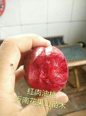 山东省临沂市沂南县红肉油桃 0.5~1米