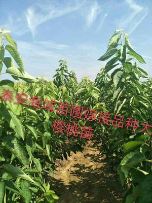 这是一张关于玛瑙红樱桃苗 0.5~1米的产品图片