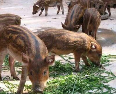 山东济南特种野猪 20-30斤 统货 纯种野猪
