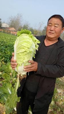 河南商丘夏邑大白菜 3~6斤 净菜 夏邑大白菜