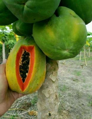 广东湛江红心木瓜 1.5 - 2斤 8斤一箱包邮