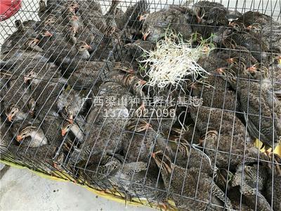 广西南宁银斑珍珠鸡 2斤以下 脱温