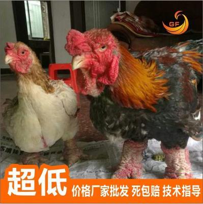 广西南宁东涛鸡苗 大脚鸡,诚信企业,优质商家