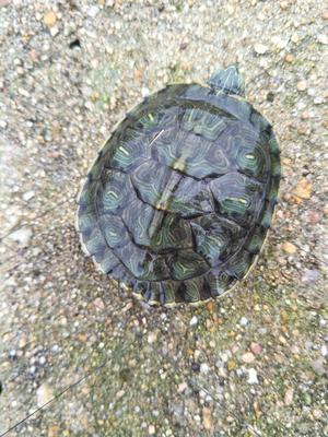 江苏扬州巴西龟 5-10cm 0.5斤以下