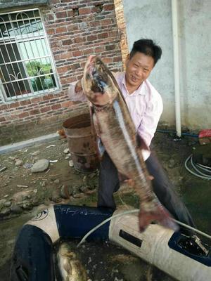 广东佛山花鲢 野生 10-18公斤