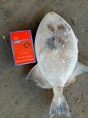 广西玉林冰冻马面鱼