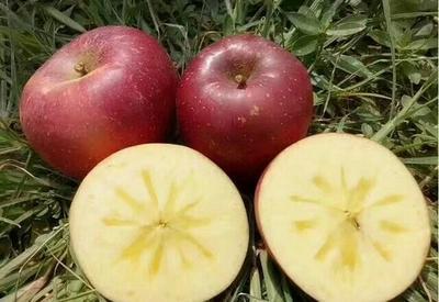 这是一张关于昭通苹果 70mm以上 纸+膜袋 全红的产品图片