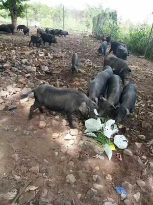 湖南永州藏香猪 20-40斤