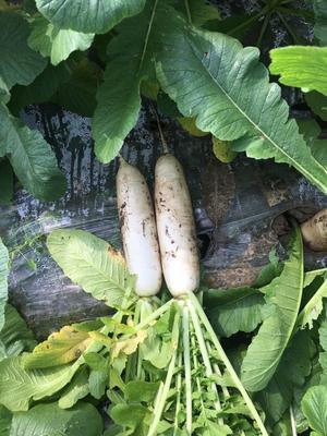 重庆重庆白萝卜 1.5~2斤