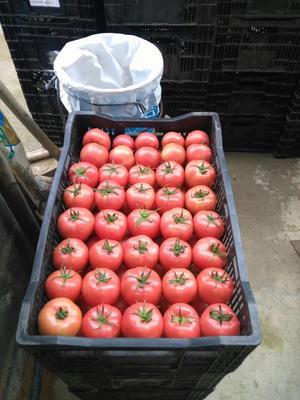 这是一张关于硬粉番茄 硬粉 弧二以上 打冷的产品图片
