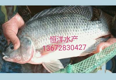 这是一张关于罗非鱼苗的产品图片
