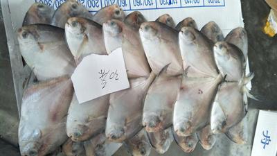浙江舟山银鲳鱼 野生 1-1.5公斤