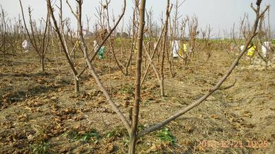 这是一张关于无花果树苗的产品图片