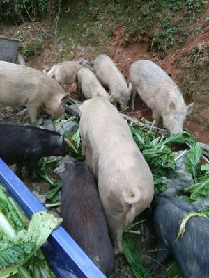 江西吉安生态野猪 统货 80斤以上