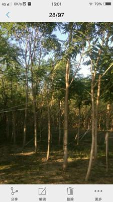 山东泰安岱岳区千头椿树
