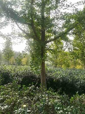 安徽六安银杏实生树