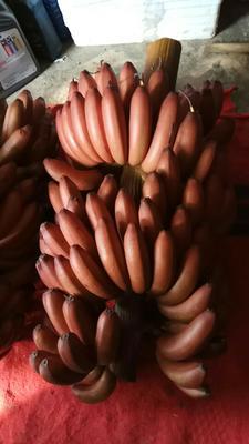 广西南宁西乡塘区红蕉 八成熟 40 - 50斤