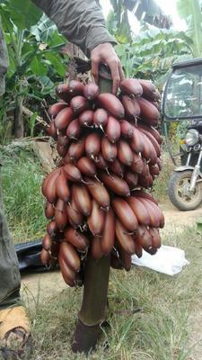 这是一张关于红香蕉 八成熟 40 - 50斤的产品图片