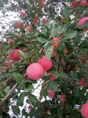 这是一张关于洛川苹果 纸+膜袋 条红 75mm以上的产品图片