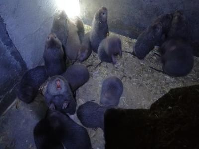 广东清远商品竹鼠 2-4斤 鼠苗也有