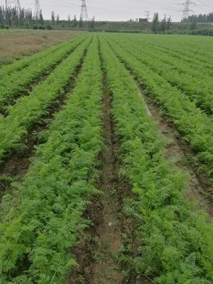 河南开封三红胡萝卜 10~15cm 2两以上 3~4cm