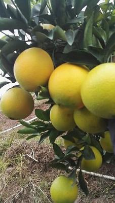 江西赣州瑞金市脐橙 40-45g