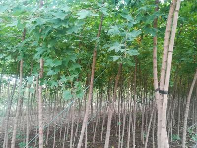 陕西宝鸡五角枫