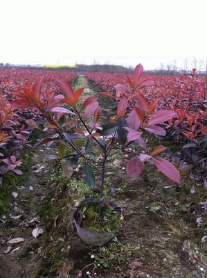 山东泰安红叶石楠球 红叶石楠苗
