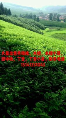 辽宁抚顺紫穗槐