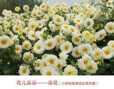 重庆重庆菊花茶 盒装 (中美欧有机认证