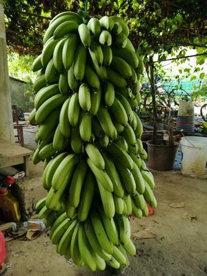 广西贵港芭蕉 40 - 50斤 八成熟 九成熟,常温下可放2~3日,越放皮越薄,