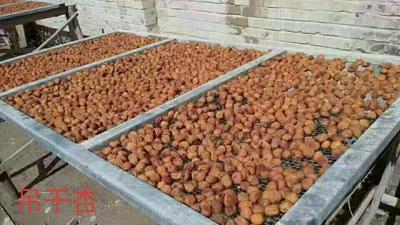 新疆阿拉尔杏干
