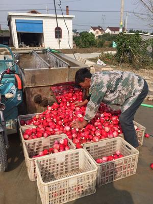 江苏盐城满身红萝卜 0.2~1斤