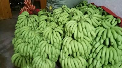 广西南宁西乡塘区威廉斯香蕉 八成熟 50 - 60斤